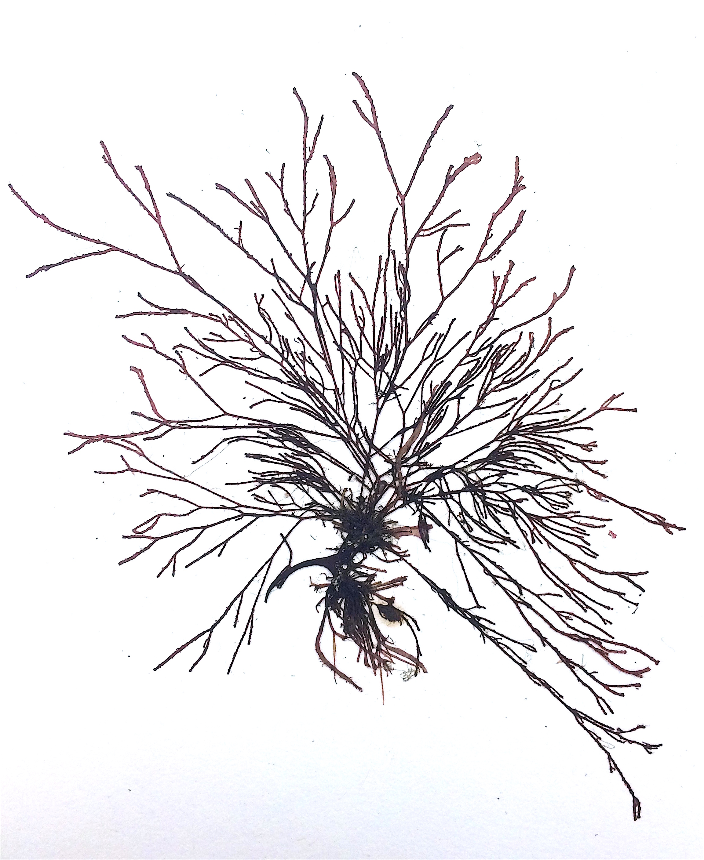 2305x2817 Winged Kelp Osu Bio Museum