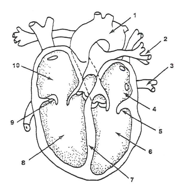 608x627 Heart Parts