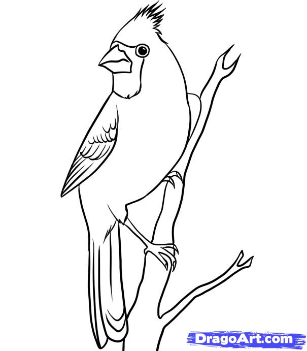605x691 How To Draw A Cardinal, Step By Step, Birds, Animals, Free Online