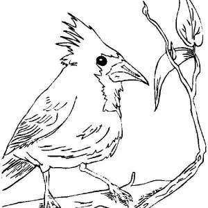 300x300 How To Draw A Red Cardinal Bird Coloring Page How To Draw A Red