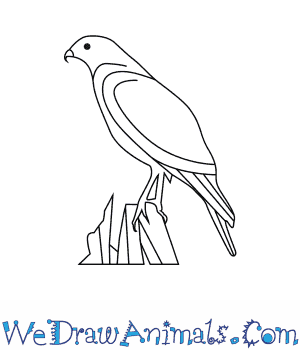 300x350 How To Draw A Red Shouldered Hawk