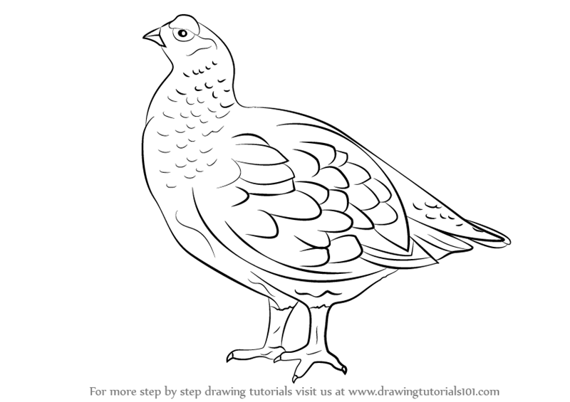 800x565 Learn How To Draw A Red Grouse (Birds) Step By Step Drawing