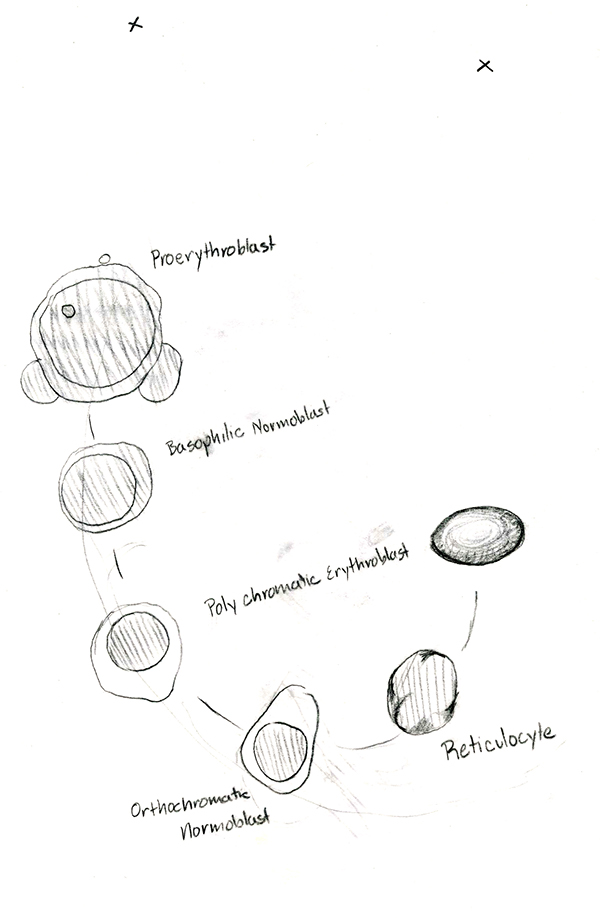 Red Blood Cells Drawing At Getdrawings Com