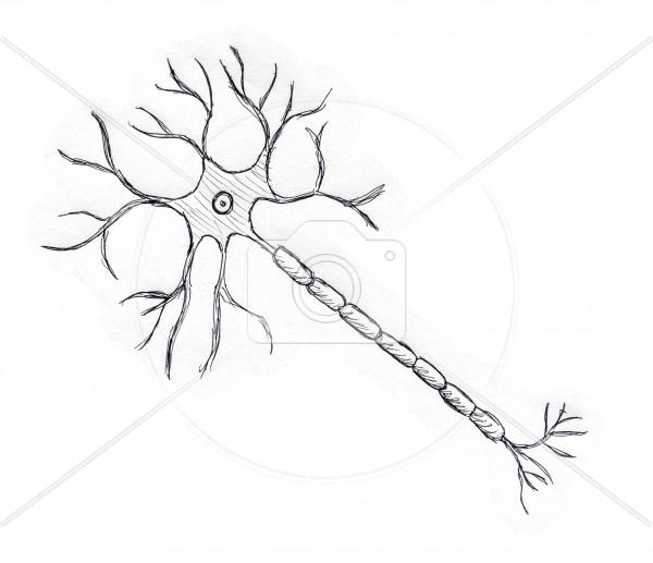 600x517 Neuron Drawing