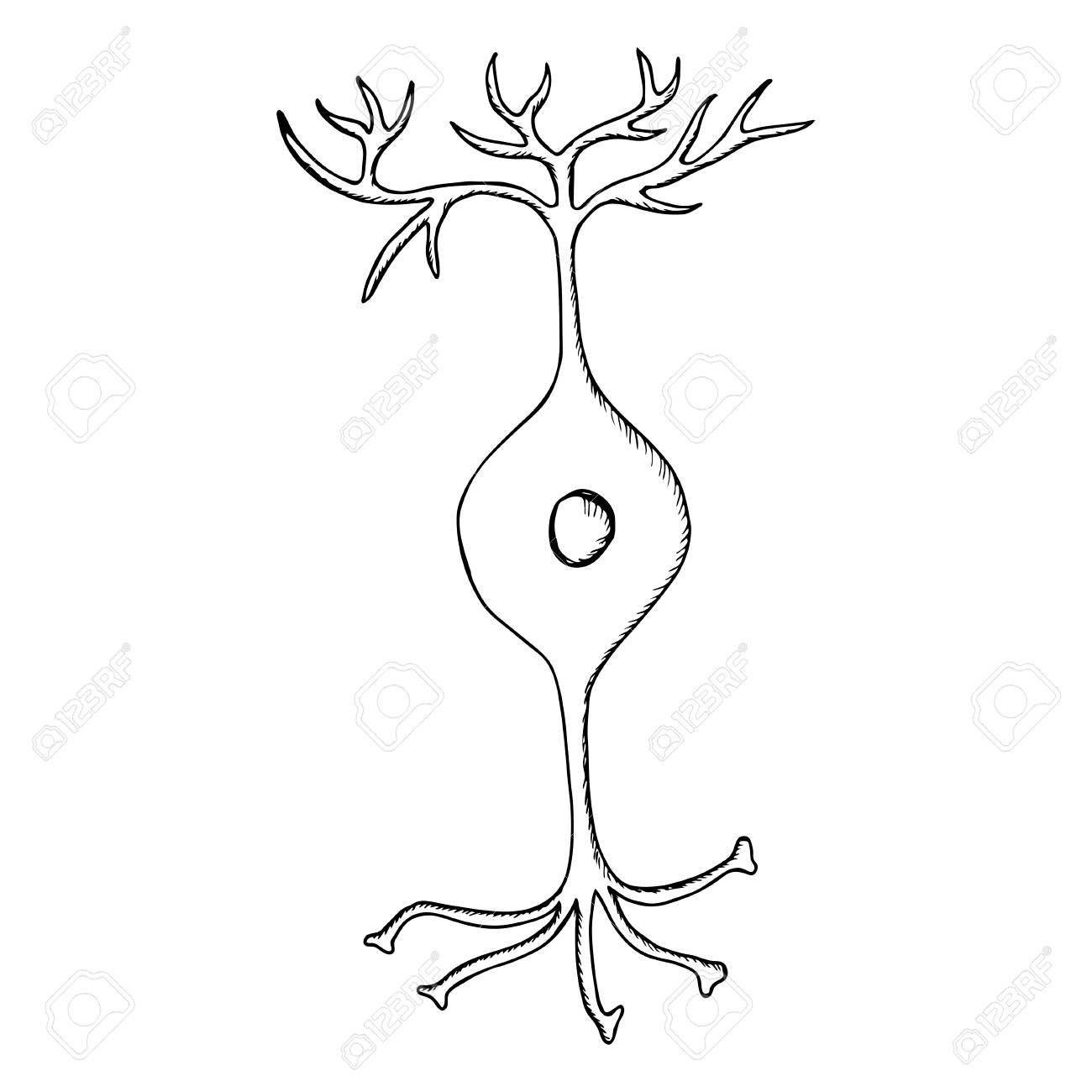 1300x1300 Bipolar Neuron, Nerve Cell Neuron, Isolated On White Background