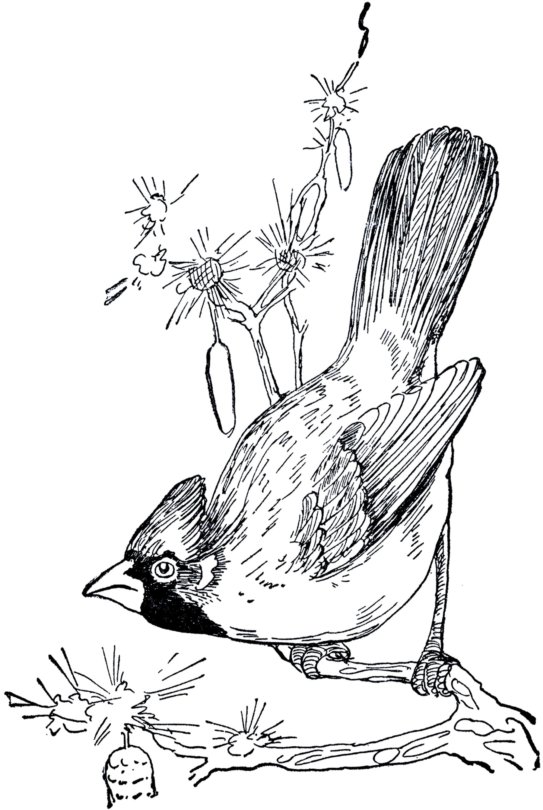 1800x2684 Cardinal Bird Drawing How To Draw A Red Bird, Red Cardinal Bird