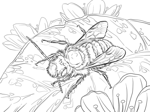 480x360 Red Mason Bee Coloring Page Free Printable Coloring Pages