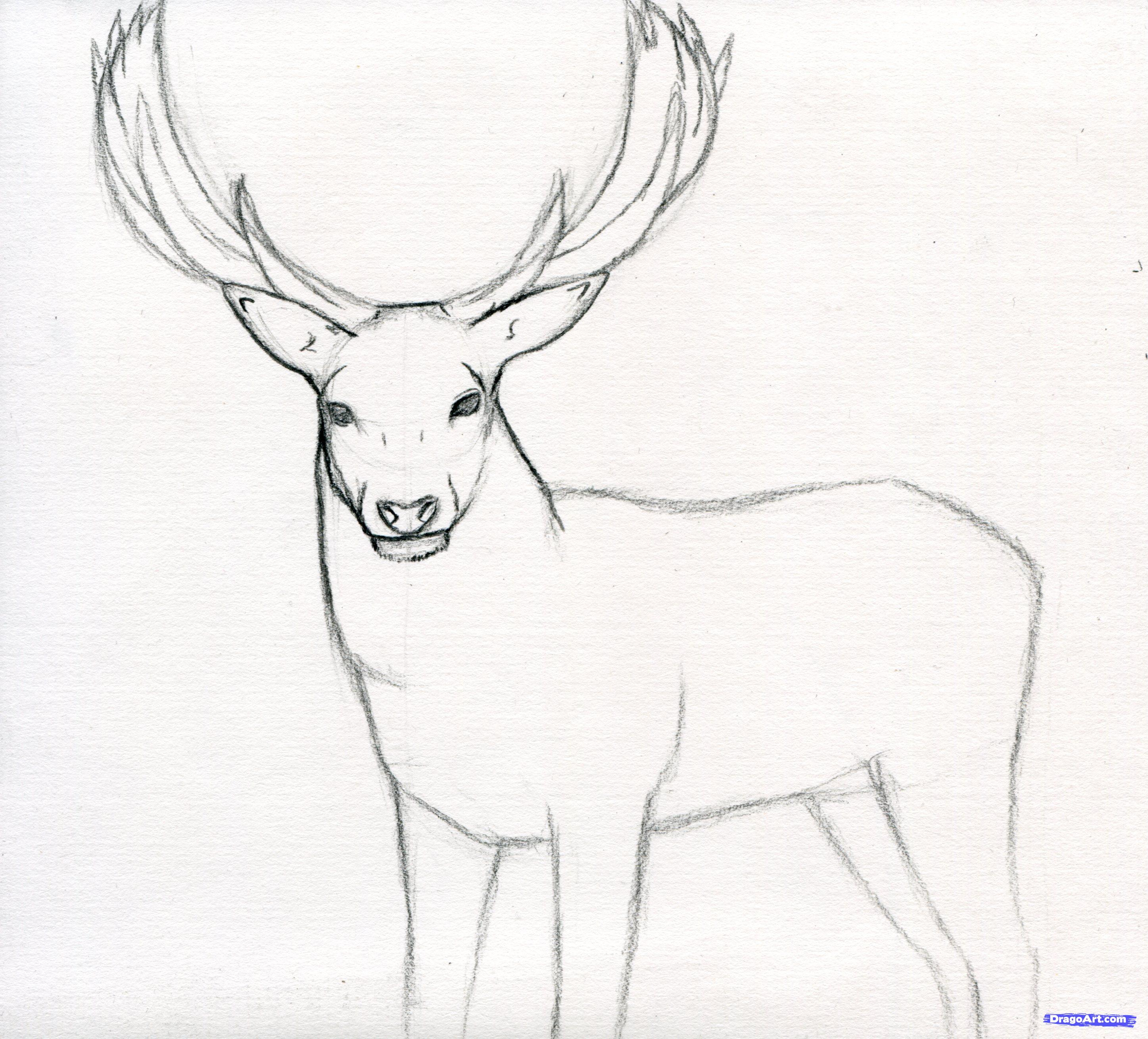 2894x2618 Drawing Of A Stag Red Deer Stag Drawing