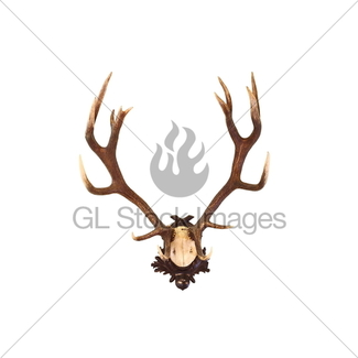 325x325 Red Deer Trophy With Large Antlers Gl Stock Images