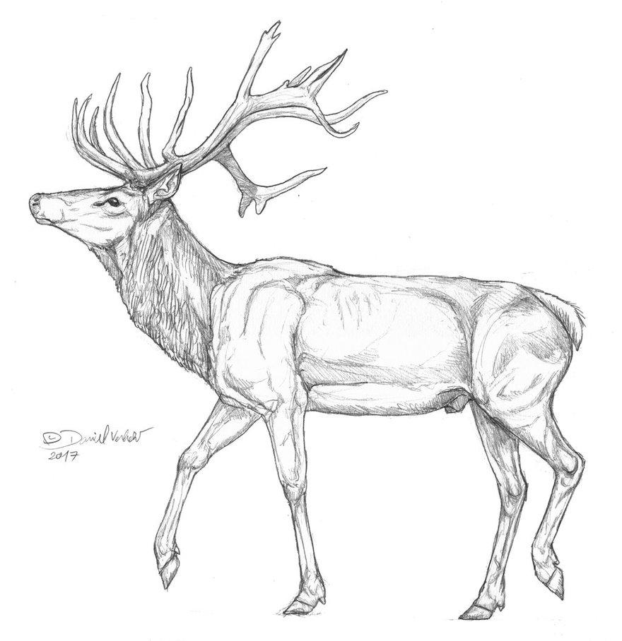 Red Deer Drawing at GetDrawings.com | Free for personal use Red Deer ...