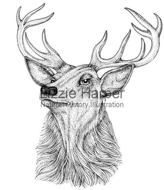544x630 Red Deer Stag Head Lizzie Harper Illustration Botanical