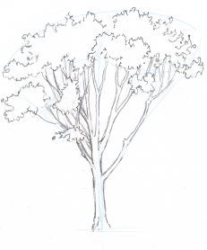 Red Oak Tree Drawing