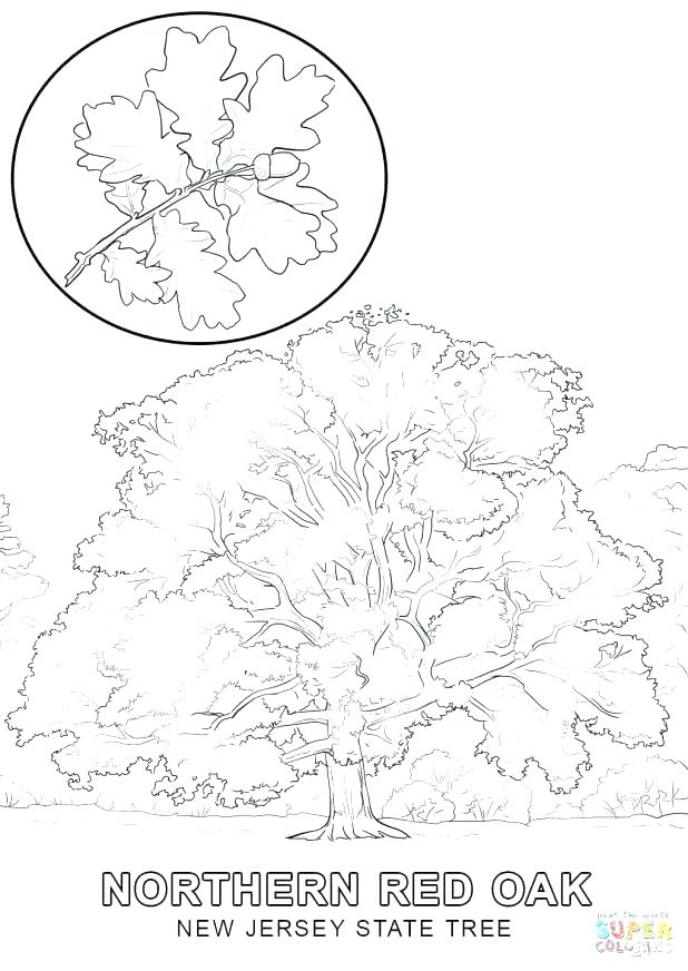 618x872 Oak Tree Coloring Pages Coloring Page Oak Red Oak Tree Coloring