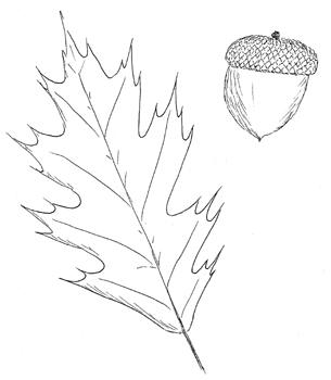 305x350 Quercus Rubra, Northern Red Oak