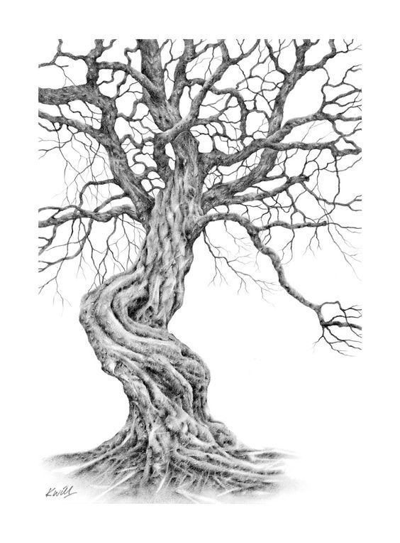 564x764 Twisted Tree. Pencil Drawing By Kevin Williamson. Drawing