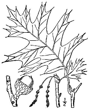 380x460 Black Oak, Quercus Velutina Lam.