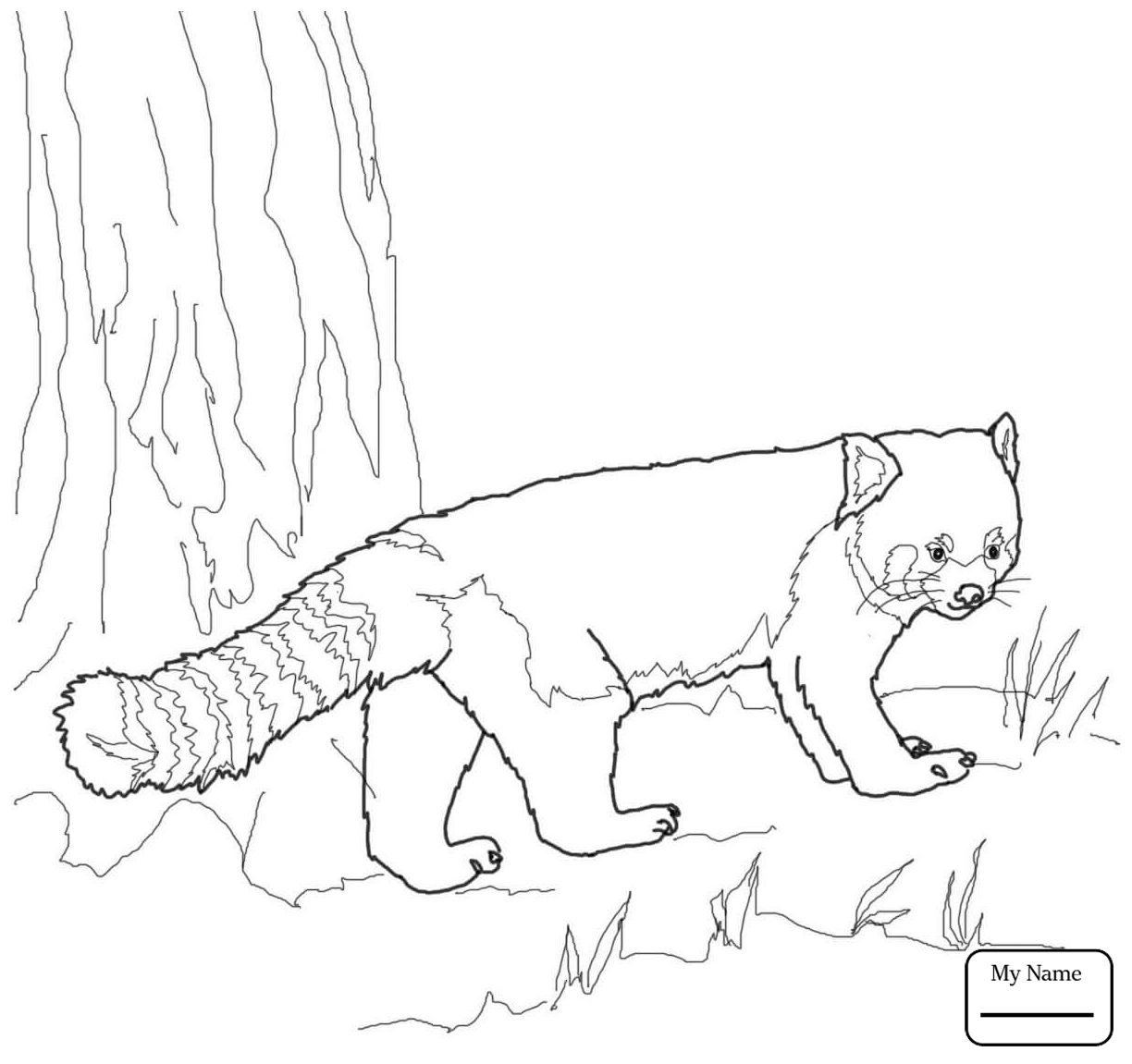 Red Panda Drawing at GetDrawings.com | Free for personal use Red ...