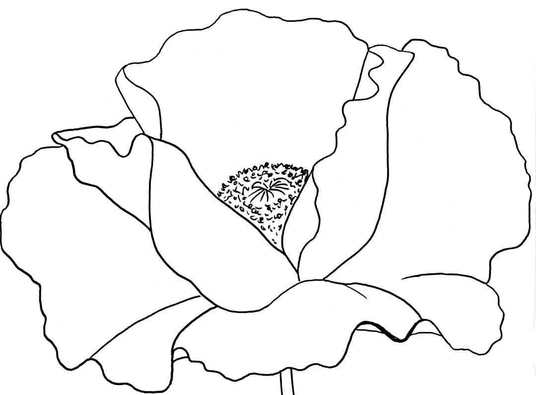 Red Poppy Flower Drawing