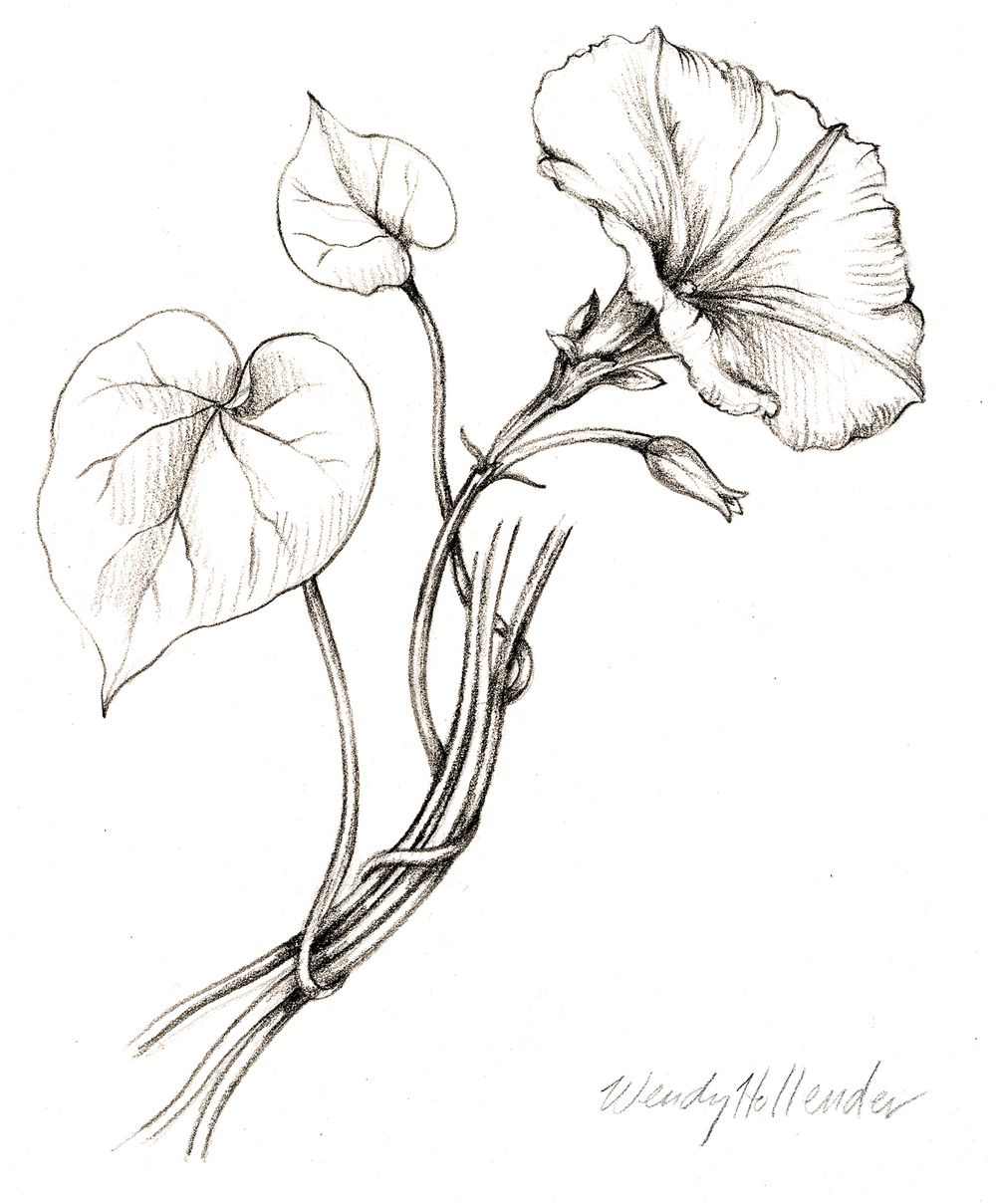 1000x1209 Morning Glory. From The Collection Botanical Illustrations