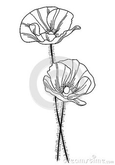 236x337 Two Beautiful Free Poppy Flower Vector Illustration. Feel Free