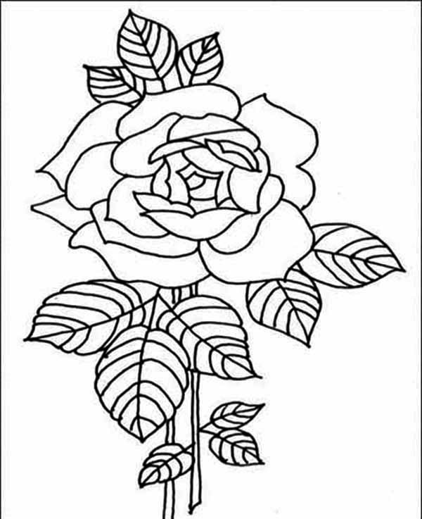 Red Rose Drawing