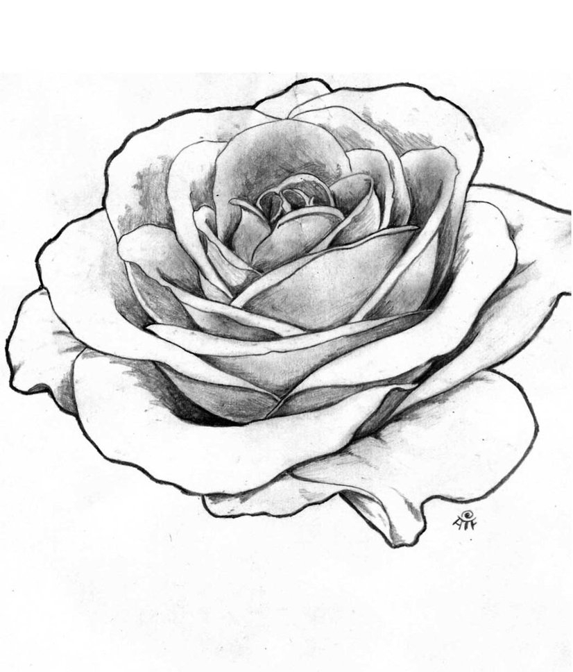 826x968 One Red Rose Drawing Realistic Outline Floweryweb Pict Jpg Resize