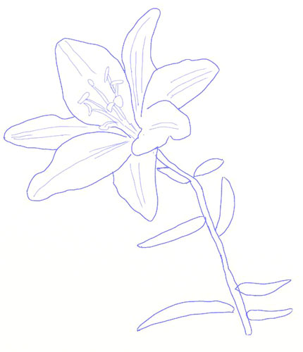 430x500 How To Draw A Lily Flower