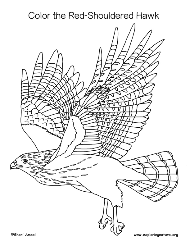 612x792 Hawk (Red Shouldered) Coloring Page