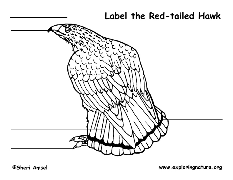 792x612 Hawk (Red Tail) Labeling Page