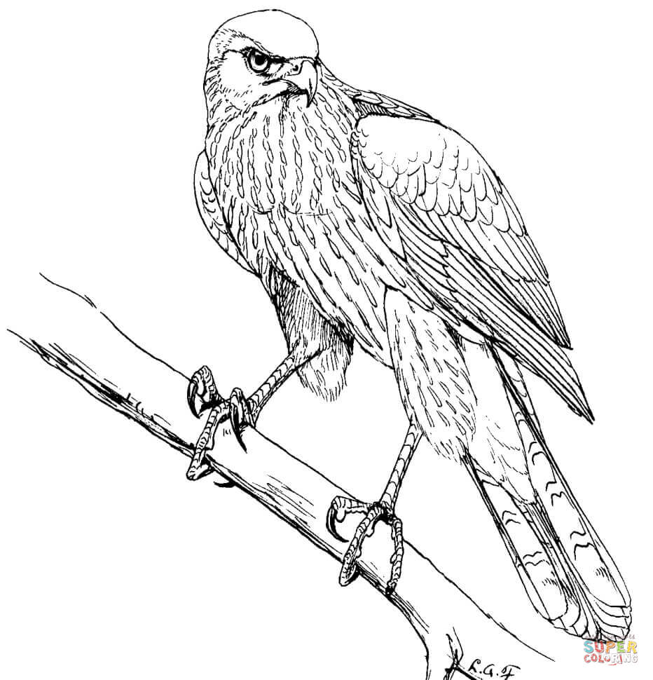 932x970 Red Tailed Hawk In Flyght Coloring Page Free Printable Coloring