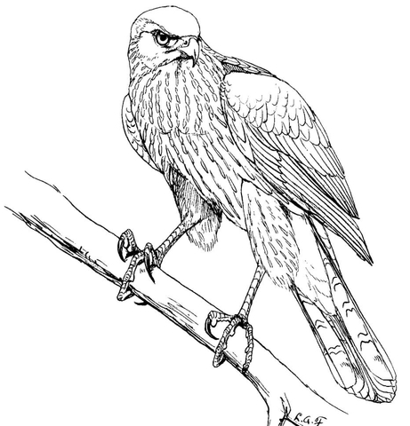Red Tailed Hawk Drawing At Getdrawings Com