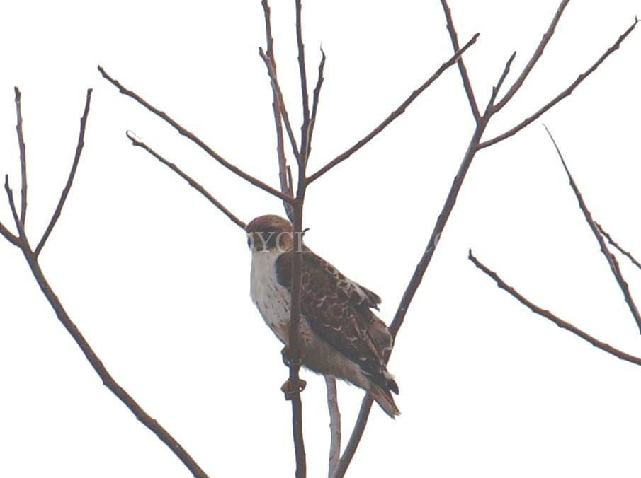 905x676 Red Tailed Hawk Jody Celeste