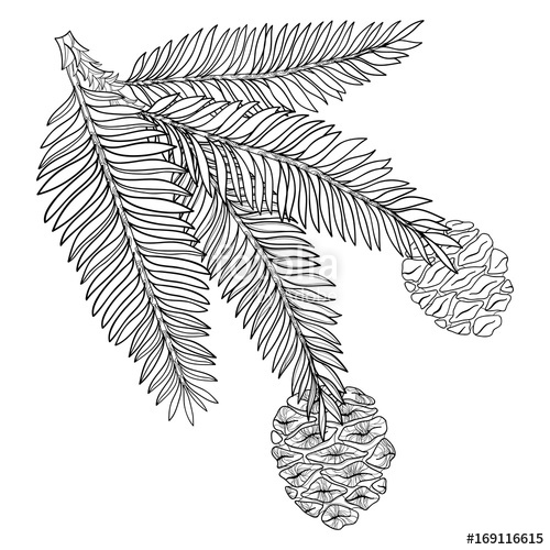 500x500 Vector Branch With Outline Sequoia Or California Redwood In Black