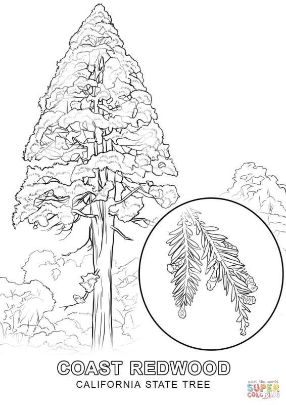 566x800 Redwood Trees Clip Art