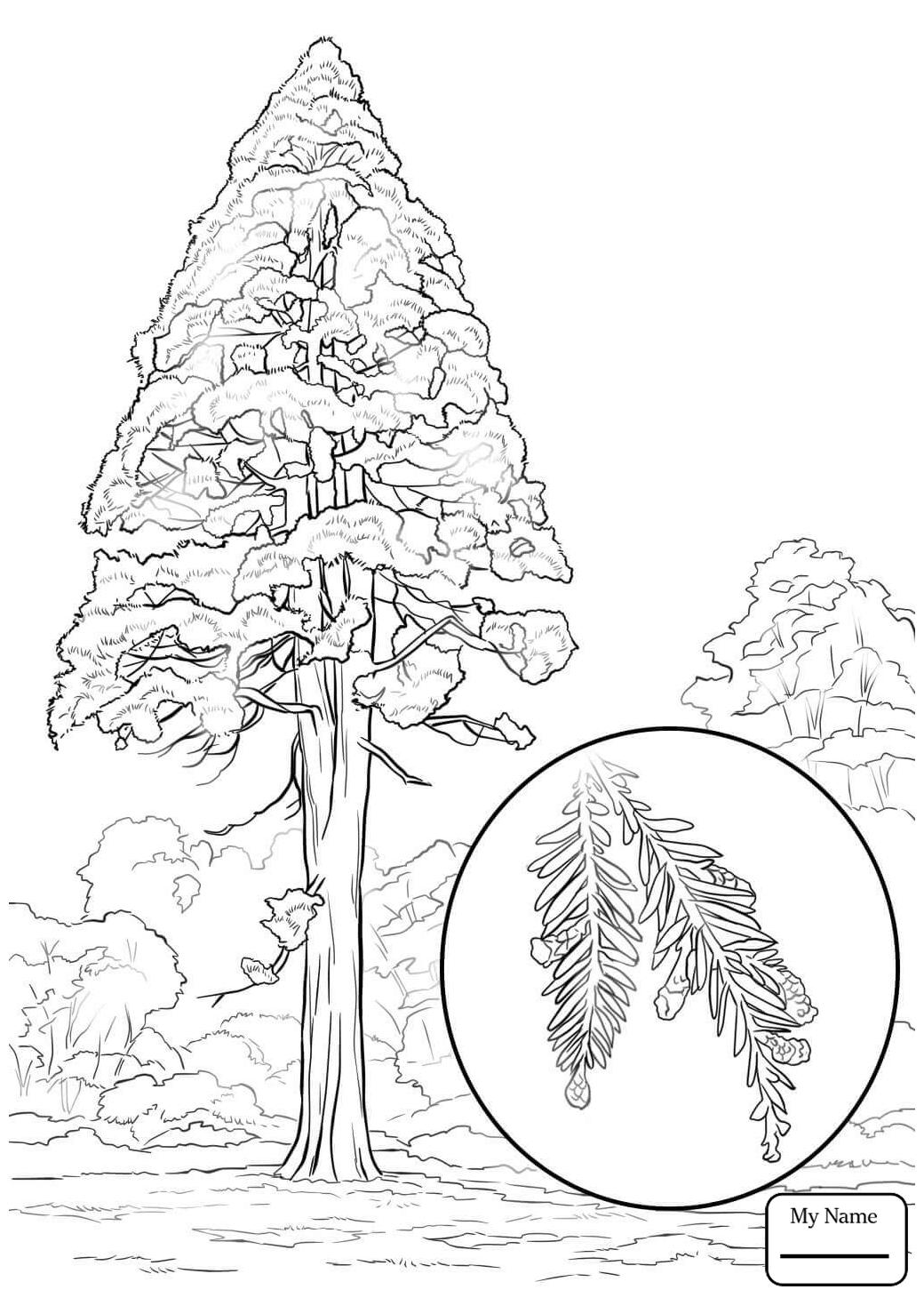 1040x1469 Trees Leaves Sequoia California Redwood Sequoia Sempervirens