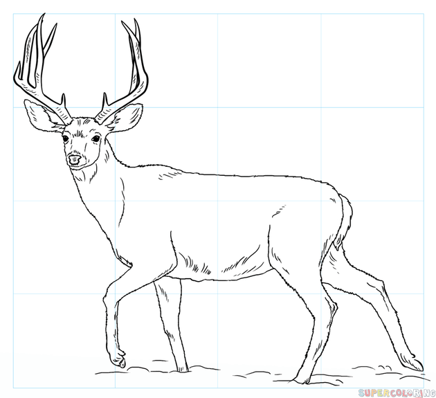 630x575 How To Draw A Mule Deer Step By Step Drawing Tutorials