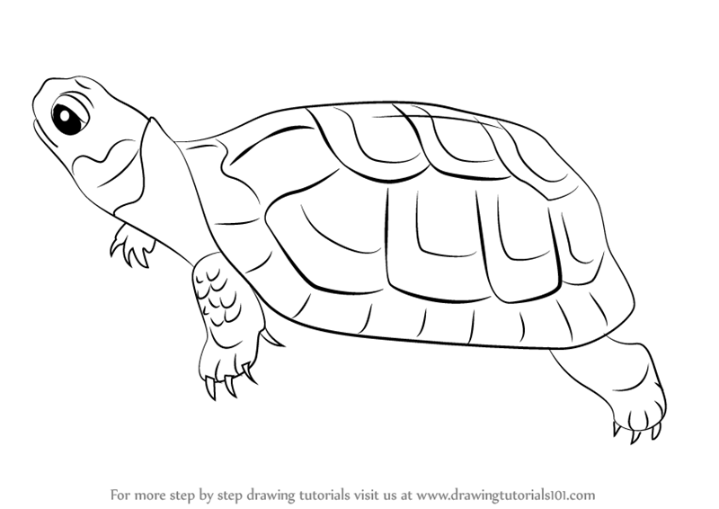 800x566 Learn How To Draw A Bog Turtle (Reptiles) Step By Step Drawing