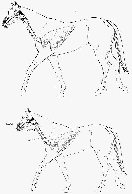 506x741 Equine Respiratory System