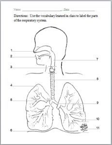 Respiratory system drawing at getdrawings free for personal 231x298 labeled diagram of the respiratory system for kids respiratory ccuart Gallery