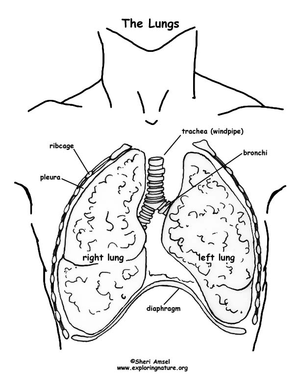 612x792 Respiratory System Overview