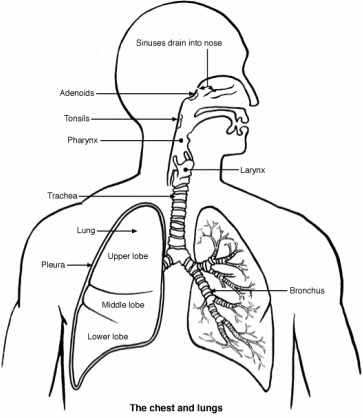 Respiratory system drawing at getdrawings free for personal 363x418 respiratory system structures ccuart Choice Image