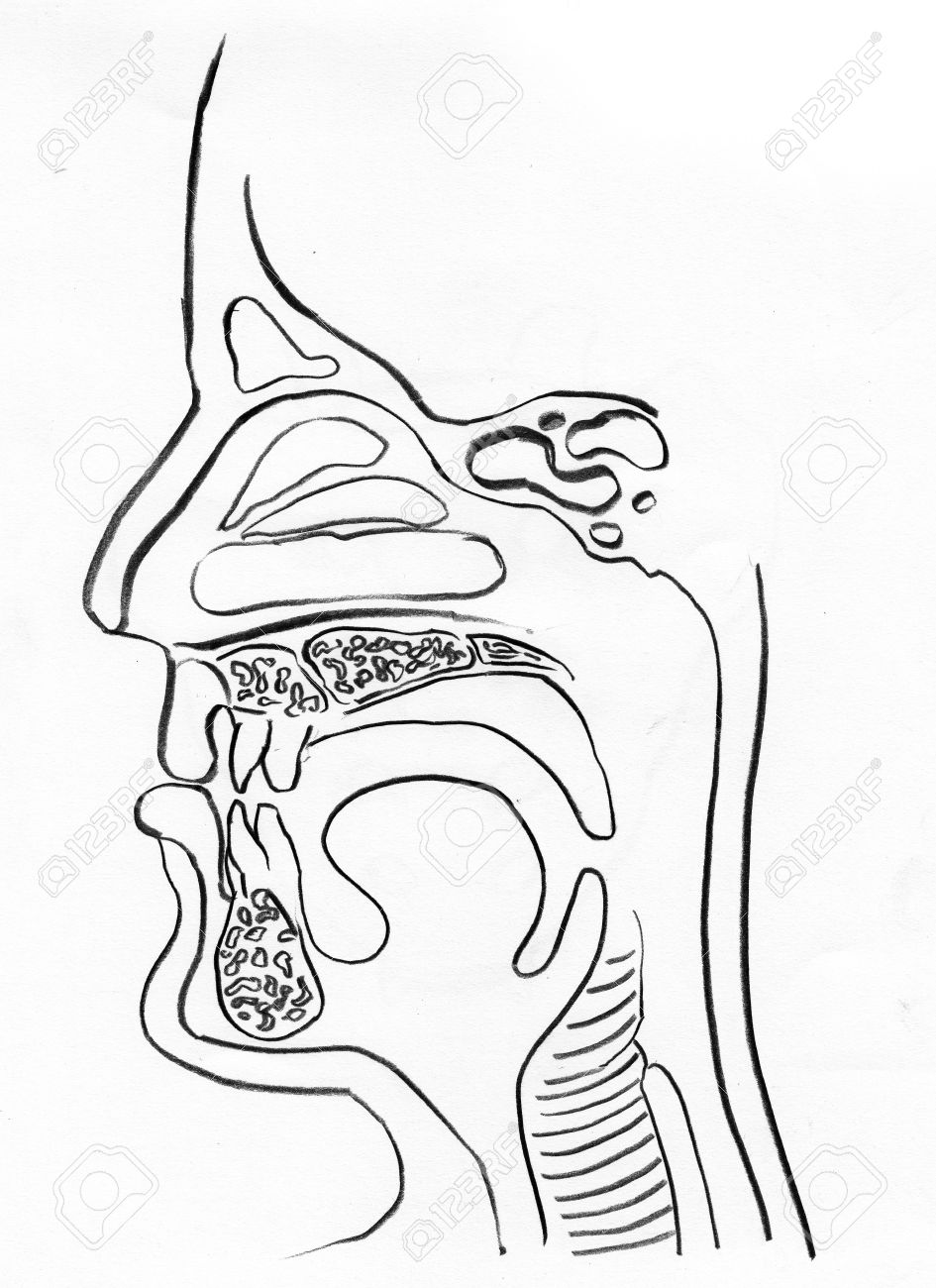 945x1300 Upper Respiratory Tract Outline Drawing In White Background Stock