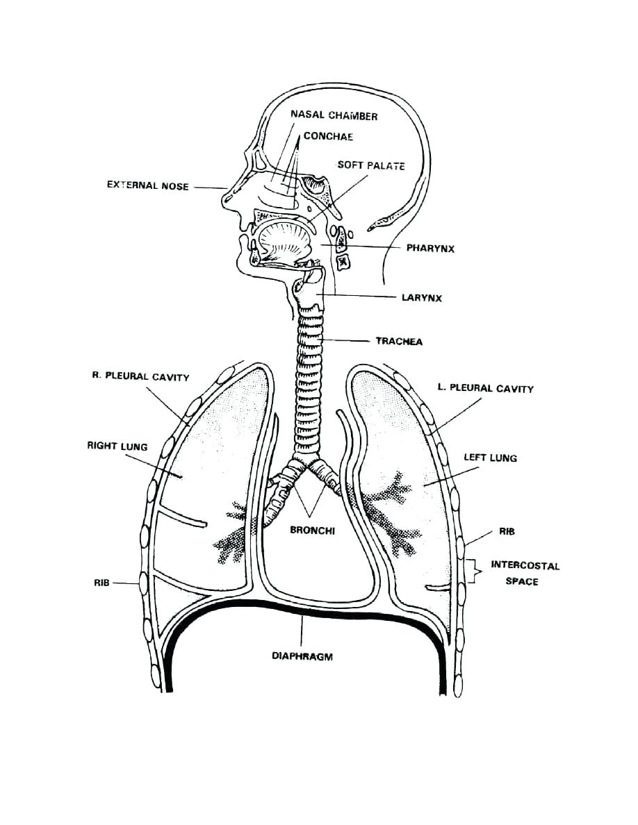 Respiratory system drawing at getdrawings free for personal 918x1188 coloring respiratory system coloring page 8 download the ccuart Choice Image