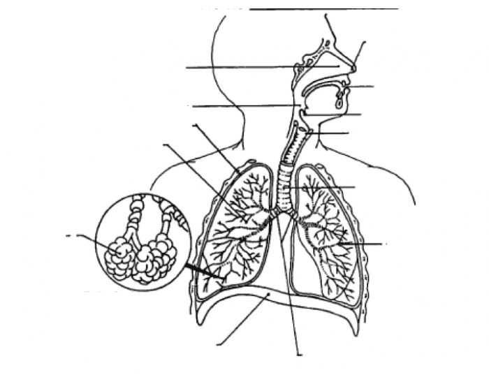 Respiratory System With Label Drawing at GetDrawings ...