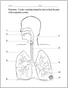 Respiratory system with label drawing at getdrawings free for 231x298 respiratory system labeling diagram diagram pinterest ccuart Image collections