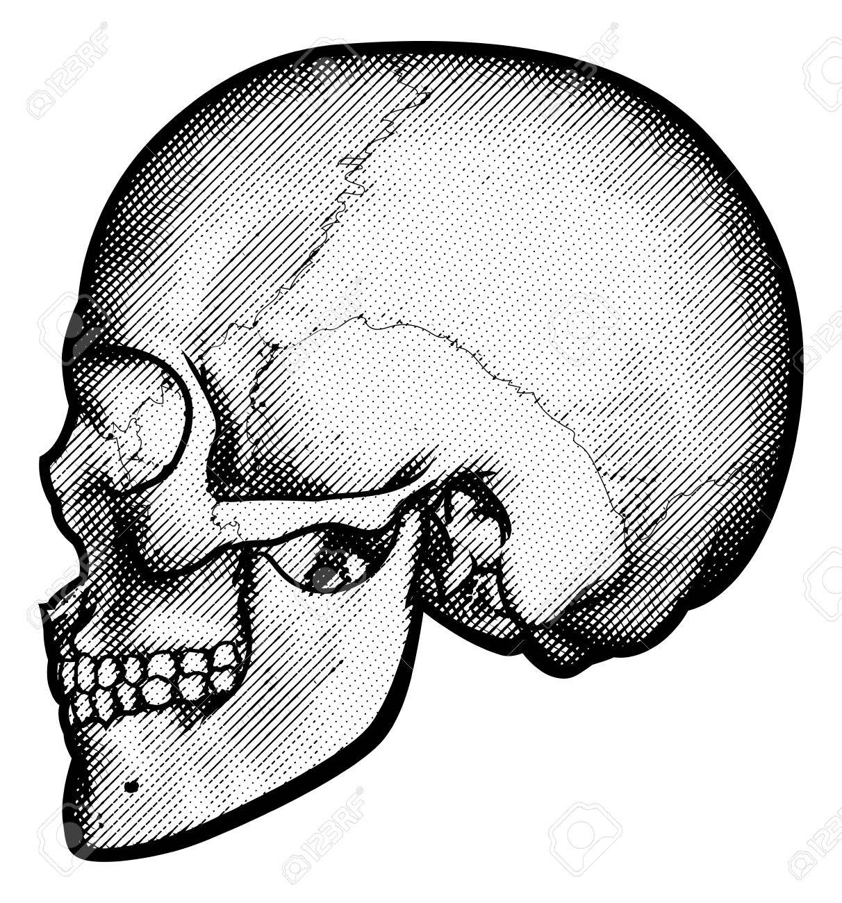 1212x1300 Skull In Profile Side View Drawing In A Vintage Retro Woodcut