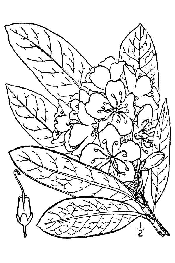 600x900 Large Image For Rhododendron Maximum (Great Laurel) Usda Plants