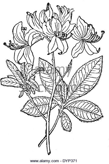 360x540 Yellow Azalea Rhododendron Luteum Stock Photos Amp Yellow Azalea