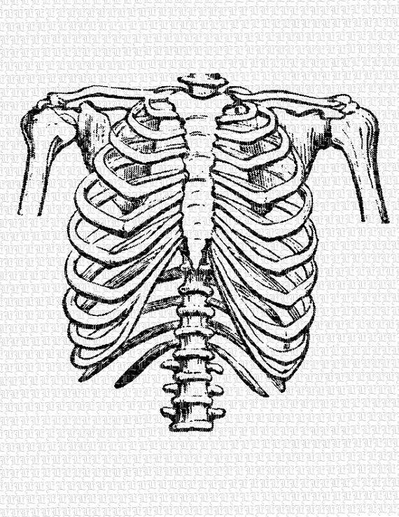 570x738 Human Rib Cage Frontal Position Vintage Clip Art Illustration