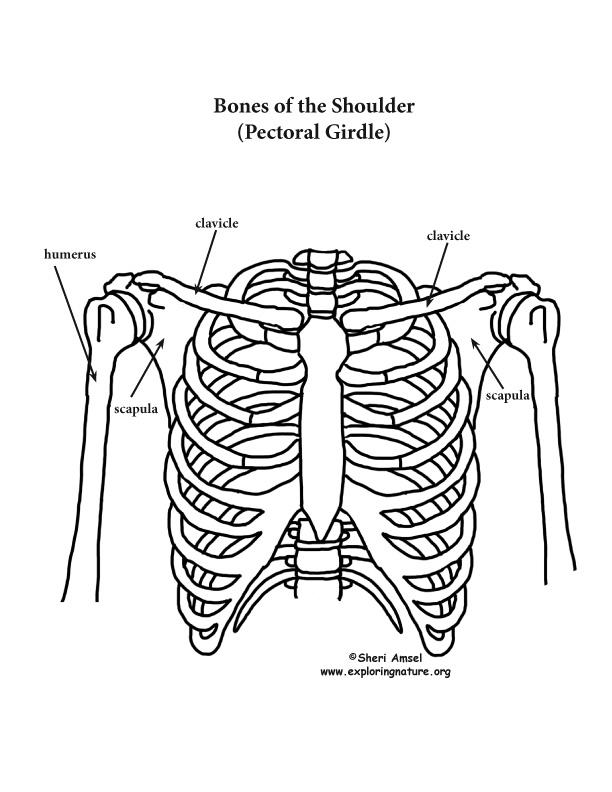 612x792 Shoulder, Rib Cage And Upper Limb